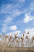 pic of marsh grass  - Tall Marsh Grass Against a Blue Sky With White Cloud - JPG