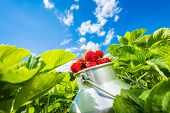 stock photo of strawberry  - Fresh juicy strawberries in a strawberry field between strawberry bushes - JPG