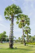 stock photo of palm  - photo of Asian Palmyra palm Toddy palm Sugar palm Cambodian palm - JPG