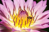 picture of water bug  - Bee on Purple water lily in pond - JPG