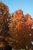 stock photo of crip  - beautiful autum trees on a crips fall day.