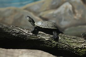 pic of terrapin turtle  - European pond turtle  - JPG