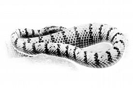 image of green snake  - Graphic black and white portrait of oriental whip snake - JPG