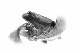 picture of inverted  - Black and white portrait of tropical frog on a branch close - JPG