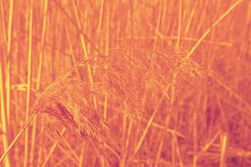 pic of dry grass  - Yellow Dried Grass by the River Autumn dry grass background Selective focus - JPG