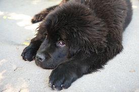 stock photo of newfoundland puppy  - Portrait of the cute puppy of Newfoundland dog - JPG
