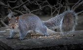 Постер, плакат: Eastern grey squirrel