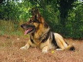pic of shepherdess  - German shepherd dog, portrait in the garden