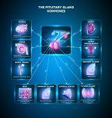Постер, плакат: Pituitary Gland Hormones