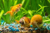 Постер, плакат: A Goldfish Swims By Two Snails Ampularia