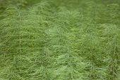 foto of horsetail  - carpet of green horsetail close - JPG