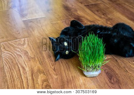 poster of Cat Grass. Cat Is Eating A Cat Grass