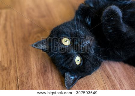 poster of Portrait Of A Cat. Scotish Shorthair .the Cat Lies Playfully