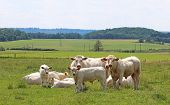 Small Herd Of Charolais Cattle Grazing On A Green Pasture poster