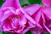 Closeup Of Pink Dogrose Or Briar Flower With Soft Focus. Macro View Of Flowering Rose Hips Of Briar  poster