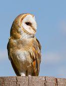foto of screech-owl  - A sitting owl in a german zoo - JPG