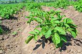 Agriculture Of Potato Field. Smart Agriculture. Agricultural Landscape. Natural Potato. Summer Natur poster