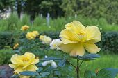 Yellow Rose. Blooming Yellow Rose In The City Garden. Yellow Rose On A Background Of Green Leaves. poster