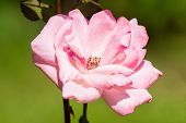 Macro Photo Nature Pink Rose. Texture Background Blooming Flower Pink Rose. Images Of Rose Flower Wi poster