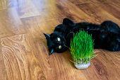 Cat Grass. Cat Is Eating A Cat Grass poster