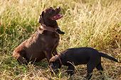 Adult Labrador And Small Labrador Puppy Together For A Walk For Any Purpose poster