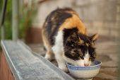 Beautiful Feline Cat Eating On A Metal Bowl. Cute Domestic Anima poster
