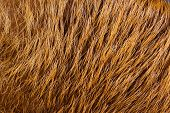 The Fur Of Fur-bearing Animals Beaver-- Skins Tanned With The Wool. Fur -- Mammalian Hair, Protects  poster