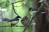 picture of fantail  - pied fantail with family in nature on trees
