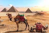 Camels Near The Pyramids, Beautiful Egyptian Scenery poster