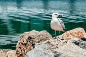 Seagull Sitting On The Rock And Looking Curiously At Camera, Blue Water In The Background. Feed Bird poster