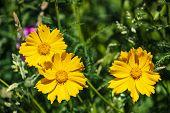 Yellow Cosmos Or Cosmos Sulphureus, Sulfur Cosmos. Flower. Nature. poster