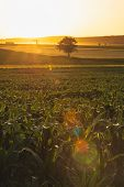 Corn Field In Countryside. Sunset In Countryside Fields. Green Corn Field. Ready To Harvest Corn. Co poster