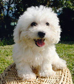 stock photo of bichon frise dog  - Purebreed bichon frise puppy sitting in the grass in a basket - JPG