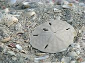 stock photo of sand dollar  - lone sand dollar and sea shells on beach - JPG