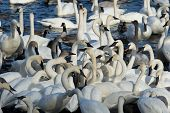 pic of trumpeter swan  - Aflock of Trumpeter swans feeding in the winter - JPG