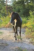 picture of mustang  - These wild spanish mustangs are Choctaw Indian Ponies - JPG