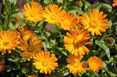picture of marigold  - calendula medical herb Marigold flowers in summer meadow - JPG