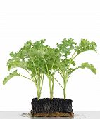 stock photo of root-crops  - Cropped seedlings growing in cubes from soil vegetable kale - JPG