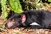 Tasmanian Devil Basking In The Sun. Native Australian Animal And Endangered Species. Sarcophilus Har poster