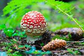 pic of agar  - Beautiful fly agaric with pineal on the ground under a leaf - JPG