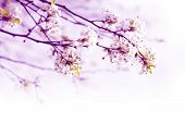stock photo of pinky  - Beautiful Blossom Tree Theme - JPG