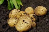 stock photo of loam  - Fresh potatoes when harvested from organic farms - JPG