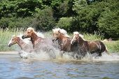 stock photo of chestnut horse  - Batch of nice chestnut horses running in the wather in summer - JPG