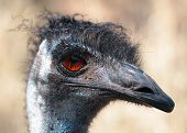 picture of ostrich plumage  - Emu is the Largest bird native to Australia and most common over most of mainland Australia - JPG