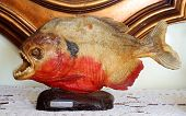picture of piranha  - Amazing red bellied piranha ornament from venezuela - JPG
