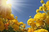 stock photo of buttercup  - Picturesque field of beautiful yellow buttercups ranunculus - JPG