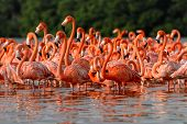 stock photo of pink flamingos  - Flock of greater flamingos  - JPG