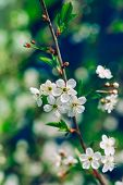 Blossoming Tree Brunch With White Apple Or Cherry Flowers On Green And Dark Blue Background, Macro