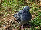 picture of curio  - Curios pigeon curiously looking into the camera - JPG