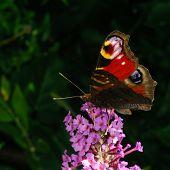 picture of butterfly-bush  - A beautiful Peacock butterfly feeding on a Buddleja bush flower - JPG